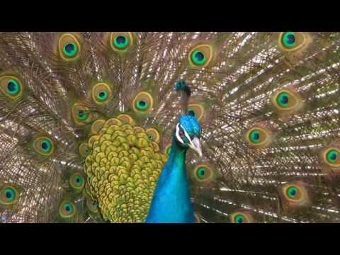 Thế giới động vật - Vẻ đẹp mê hồn của chim công