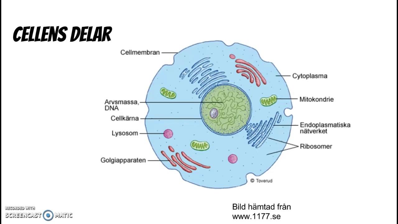 celler och vävnader