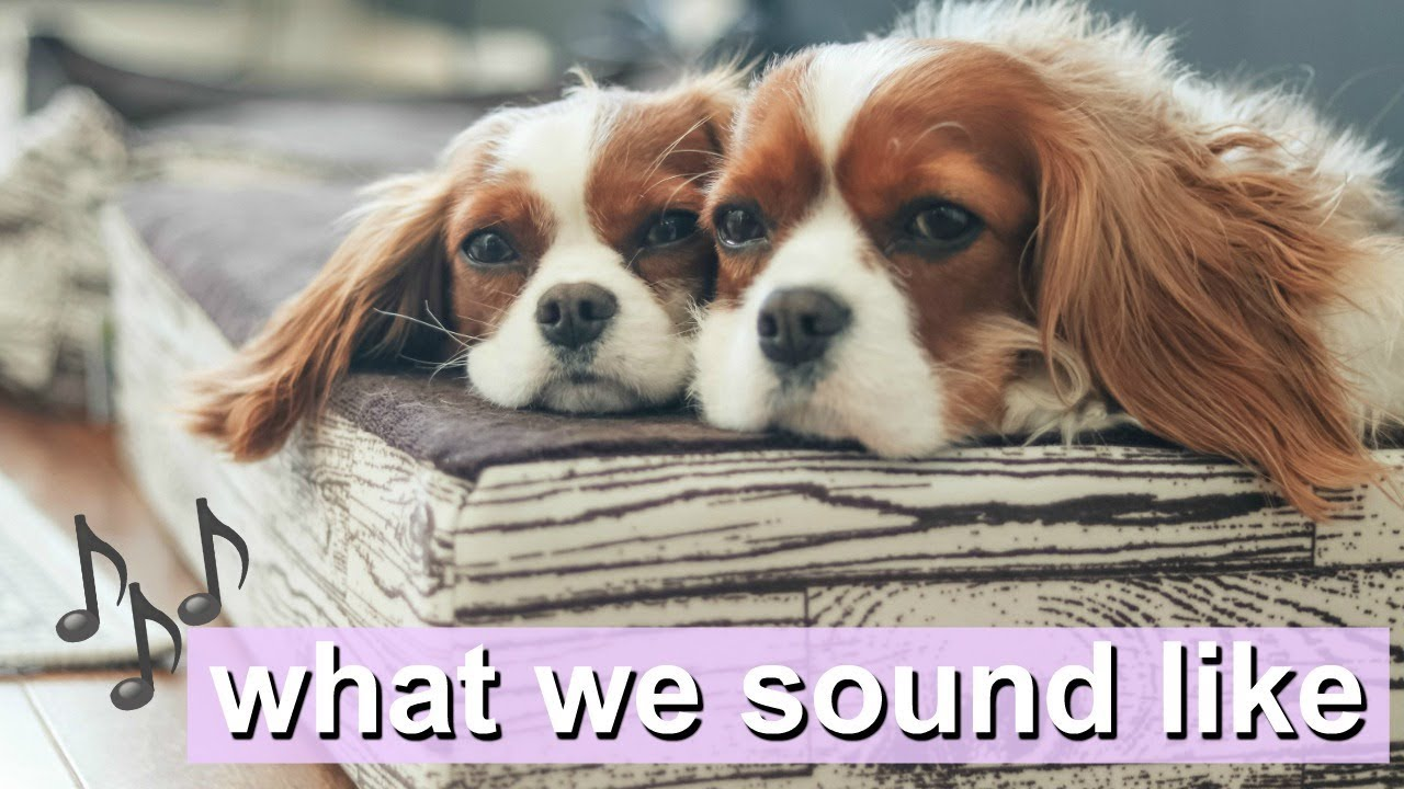 what we sound like dog sounds cavalier king charles youtube