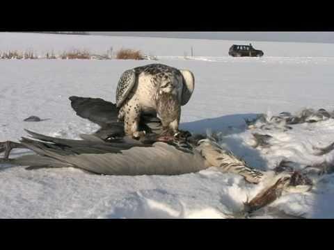Beizjagd mit Falke auf Graureiher Falcon Hunting on Grey Heron