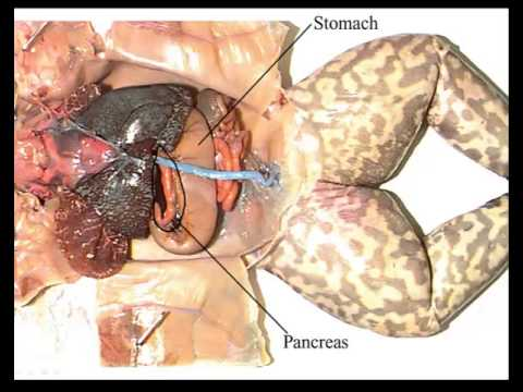 Frog dissection internal anatomy