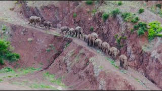 Elephants on a mission: Unique insight into adventurous herd in SW China