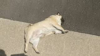 LAZY!!! Pug out for a walk