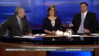 Repeat youtube video Funny rabbits on news
