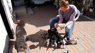 Прикорм мясом - День 30-34 - Уход за щенками день за днем