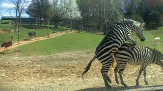 Repeat youtube video Zebra Love