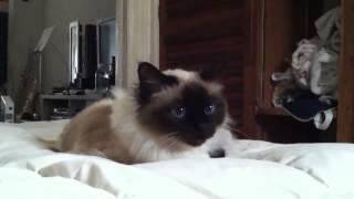 Bali the Birman cat talks about gossip