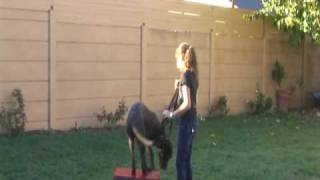 Los Angeles Junior Dog Trainers Board And Train