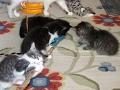 American Bobtail Kittens for sale