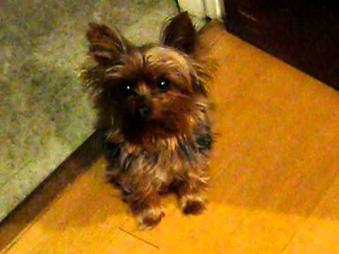 Yorkie crying for attention