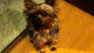 Yorkie crying for attention thumbnail