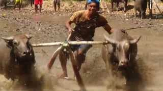 Bull Riding in Indonesia