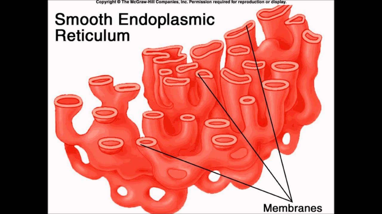 Endoplasmic Reticulum Animal Cell Diagram Jeep Wrangler Wiring 2016 Plant Song Youtube