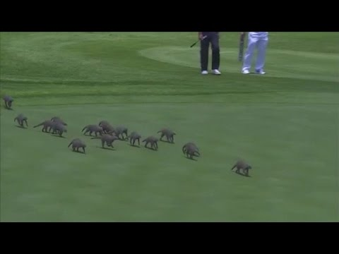 Mongooses invade golf course