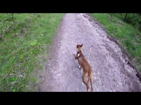 Biking with my Pharaoh Hound Issy