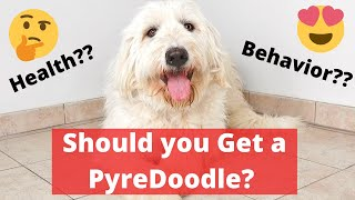 A Complete Guide on Pyredoodle | Is it Really that Cute and Desirable?