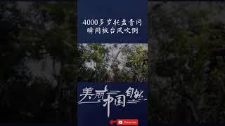 4000多岁托盘青冈瞬间被台风吹倒!给森林堡垒打开了一扇天窗!《美丽中国自然》【CCTV纪录】 - YouTube