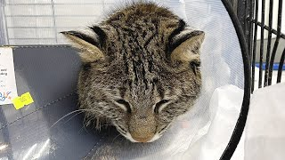 BOBCAT LUNA WAS ADMITTED TO THE CLINIC / Rufus ' condition improves, serval Meow takes a walk