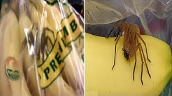Brazilian wandering spiders 'found crawling bananas bought from UK supermarket'