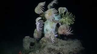 Deep Sea Crinoids At 1200 Feet