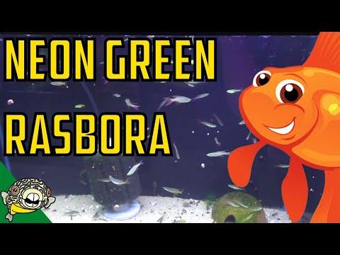 How to Care for Neon Green Rasboras. Microdevario kubotai - Microrasbora Kubotai.
