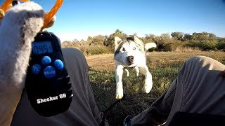 Siberian Husky Reacts To Electric Training Collar   Will It Stop Digging??