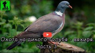 Осенняя охота на дикого голубя - вяхиря.  Часть 3. Hunting for wild pigeon. Part 3.
