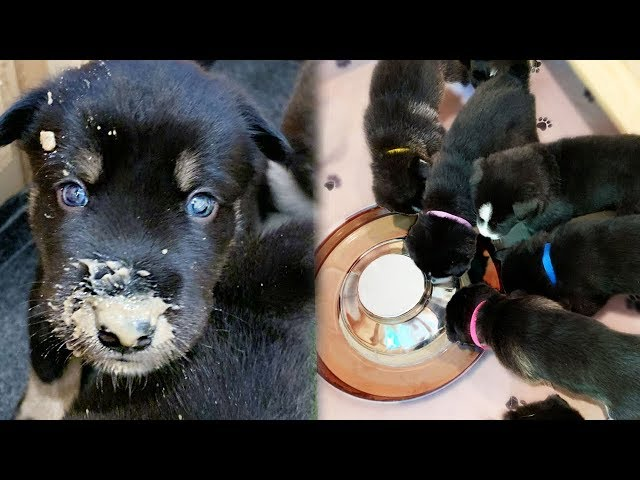 Newborn Husky puppies eat REAL FOOD for the First time!
