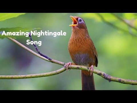 Best Nightingale Song - Amazing sounds - Youtube