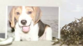 English Foxhound: http://obedient-dog.net/dog-training/ Probably yo...