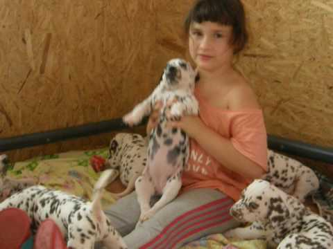 Dalmatian Black Female #1 StormGuard kennel