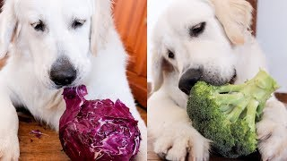 Cute Dog Bailey Funny Eats Vegetables Compilation