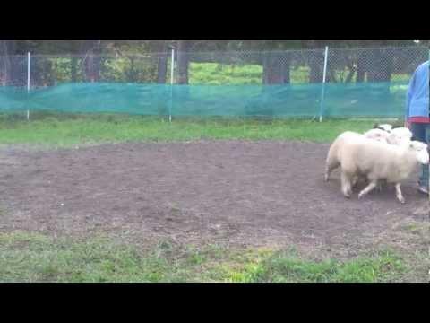 Dexter - Sheep Herding