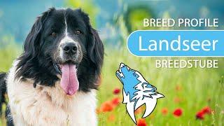 Landseer Breed, Temperament & Training