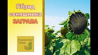Подсолнечник Заграва🌻 , описание гибрида 🌻 - семена в Украине