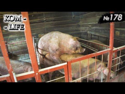 Вопрос: Может ли свинья быть в помощь полицейским вместо собаки?