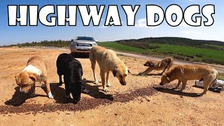 We moved the hungry dogs waiting on the highway to the safe area to feed.