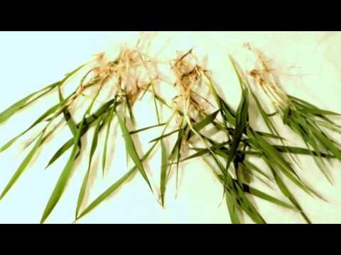 Грыжник трава (гладкий, голый), описание и лечебное применение.