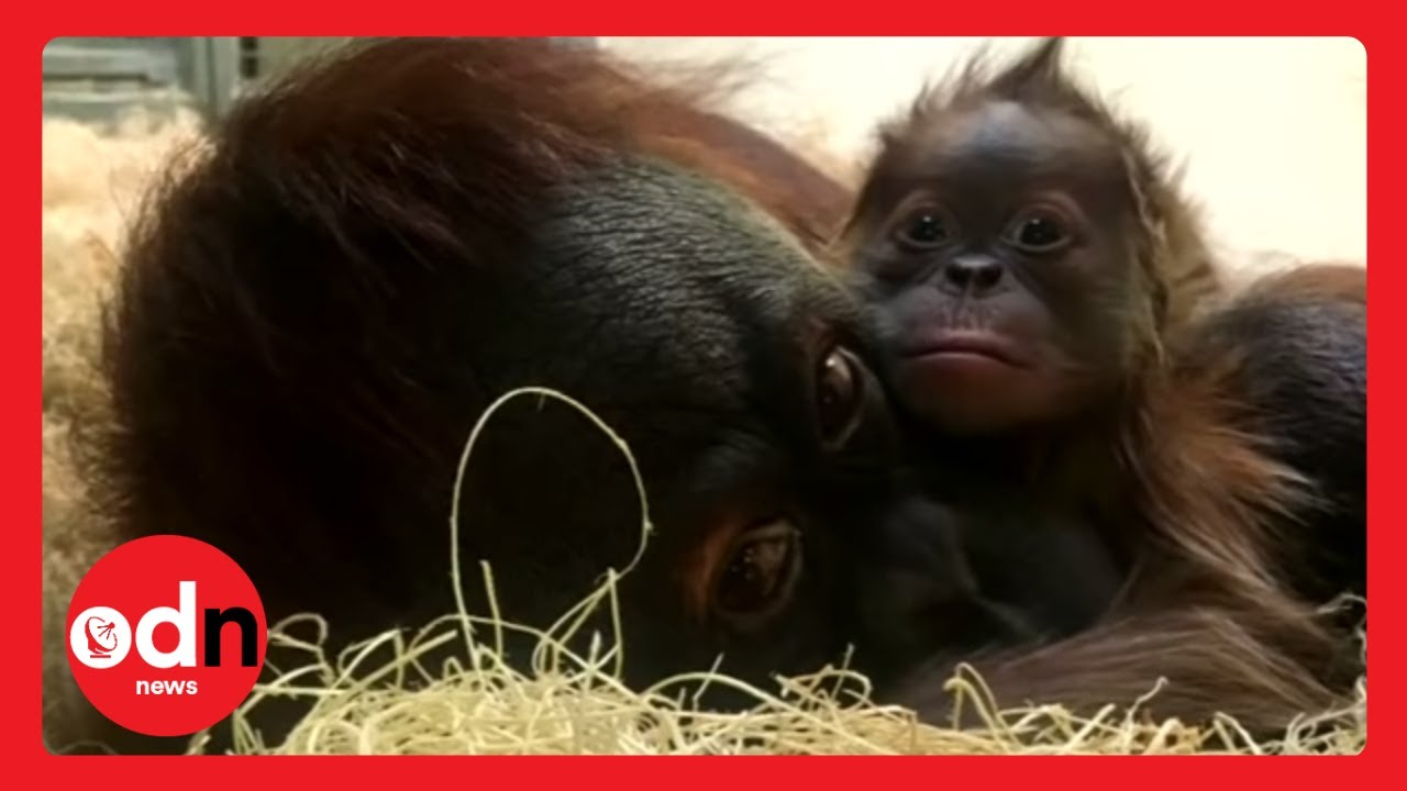 Baby Orangutan Meets Mother For The First Time in Heartwarming Video