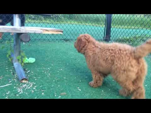 F1b Mini Goldendoodle gets the zoomies