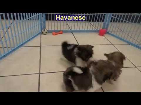 Havanese, Puppies, For, Sale, In, Anchorage, Alaska,AK, Fairbanks, Juneau, Eagle River