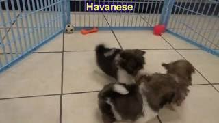 Havanese, Puppies, For, Sale, In, Anchorage, Alaska,AK, Fairbanks, Juneau, Eagle River