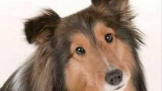 「シェットランド・シープドッグ」 作詞作曲 左近誠道 もし犬を飼うとし...