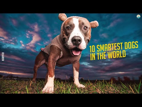 10 Smartest Dog Breeds In The World