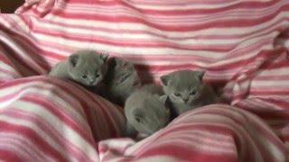 Британские котята в возрасте 3 недельки