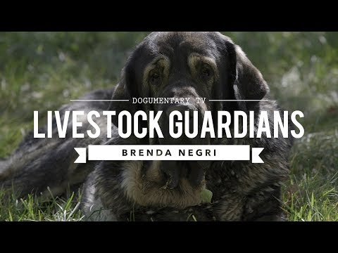 LIVESTOCK GUARDIAN DOGS:THE WAY OF THE PACK BRENDA NEGRI