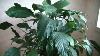 Le Spathiphyllum 2010 .mpeg