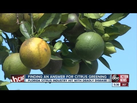 Florida citrus industry hit by deadly greening disease