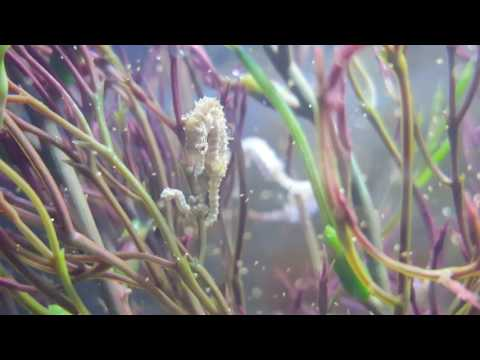 Dwarf seahorse giving birth