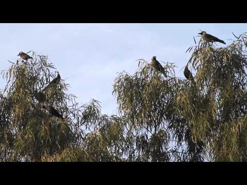 Crows on tree Lahore 7 dec 2014 Corvus is a widely distributed genus of birds in the family Corvidae